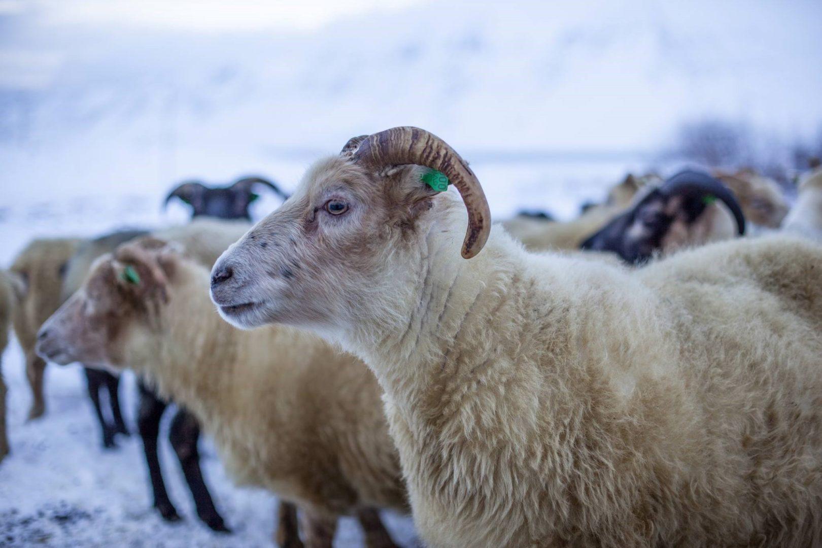 Farming in Iceland - Iceland livestock