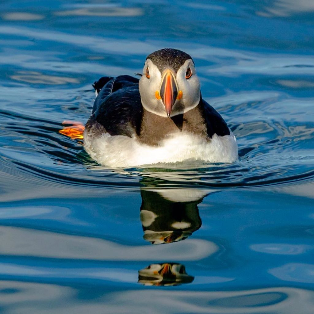 Where to Find Puffins in Iceland - World largest puffin colony