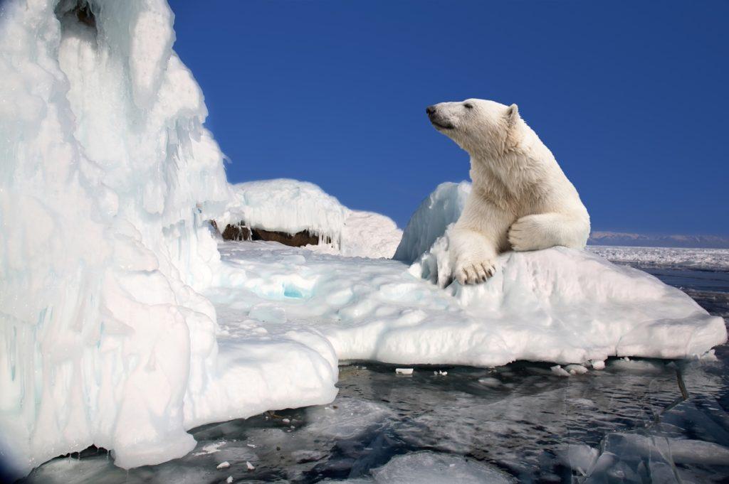 ARE THERE POLAR BEARS IN ICELAND - Polar Bear Posing
