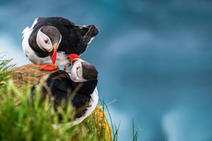 The Icelandic Puffin in June