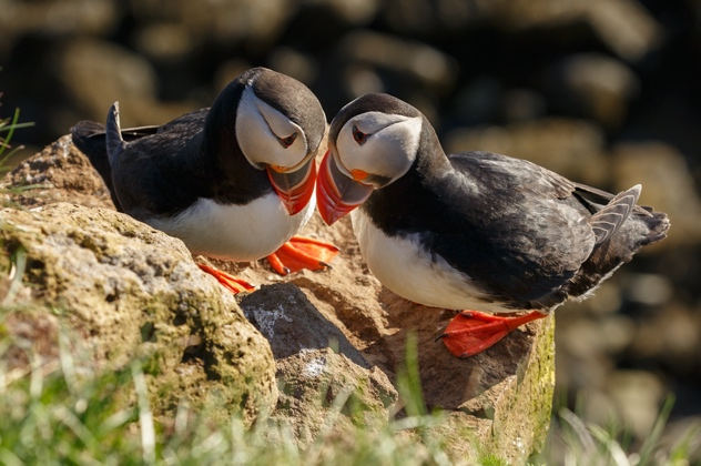 Puffins on the Iceland South Coast